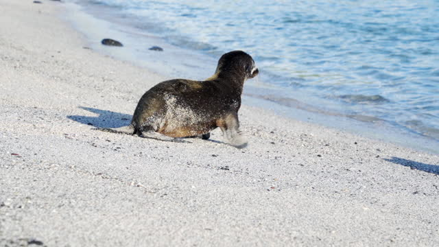 small sandy seal pup waddles towards turquoise waves on a sandy beach in sunshine - galapagos islands, ecuador - seal pup stock videos & royalty-free footage