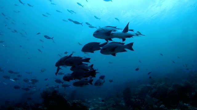 vídeos de stock e filmes b-roll de pequena escala preta de peixe (girella) existência em recife de coral, indonésia - coral macio