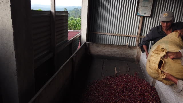 small scale producers harvest coffee from their plots and process it in the community of santa anita la union columba costa cuca quetzaltenango... - farm worker stock videos & royalty-free footage