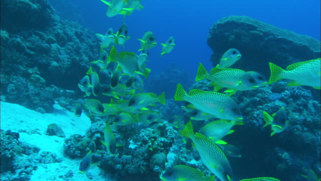 a small school of black spotted sweetlips swims along a reef available in hd. - sweetlips stock videos & royalty-free footage