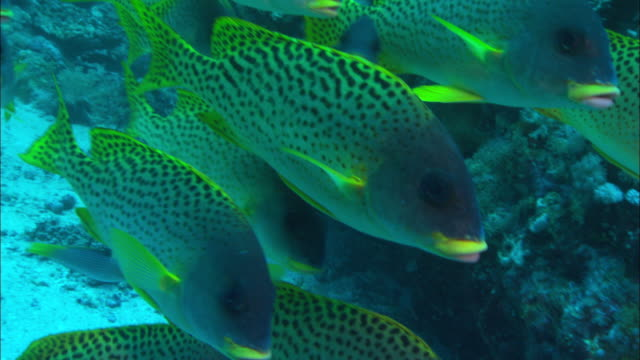 a small school of black spotted sweetlips swims around a coral reef. available in hd. - red sea stock videos & royalty-free footage
