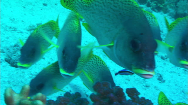 a small school of black spotted sweetlips swims near a reef. available in hd. - sweetlips stock videos & royalty-free footage