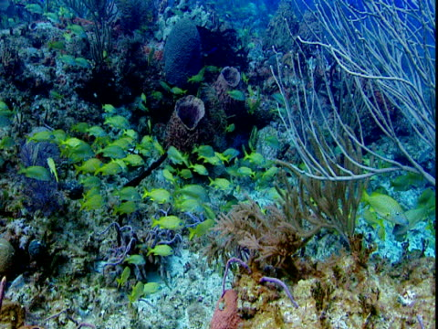 a small school of french grunts feeds on colorful corals. - grunt fish stock videos and b-roll footage
