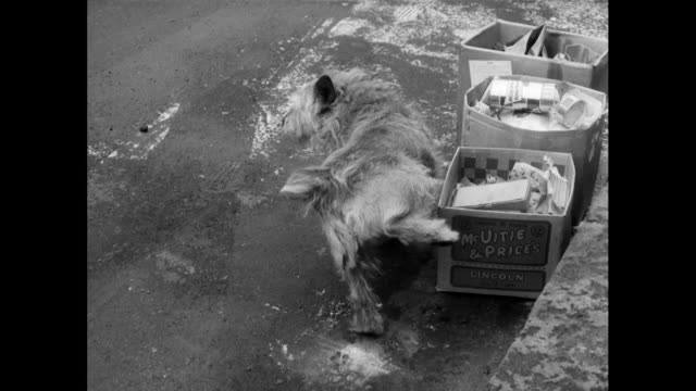 small scruffy terrier dog urinates against a box; 1963 - 1963 stock videos & royalty-free footage