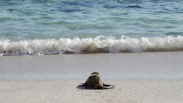 small seal pup waddles into beautiful turquoise waves from sandy beach on sunny day - galapagos islands, ecuador - seal pup stock videos & royalty-free footage