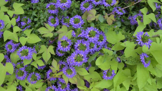 vídeos de stock e filmes b-roll de small semi-circular purple flower, top-down view - alto contraste