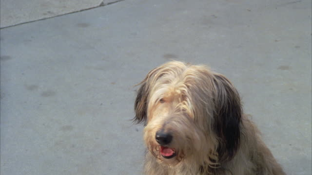 MS Small shaggy dog barking
