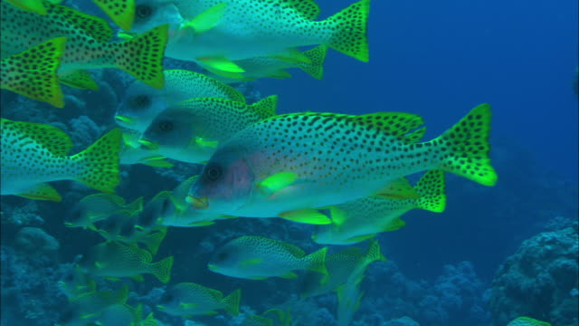 A small shoal of Black Spotted Sweetlips swims along a reef. Available in HD.