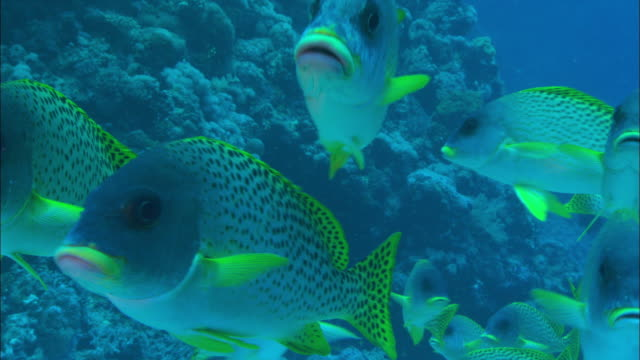a small shoal of black spotted sweetlips swims along a reef. available in hd. - sweetlips stock videos & royalty-free footage