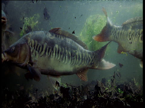 Small shoal of Carp swimming and stirring up leaf litter from lake bed, UK