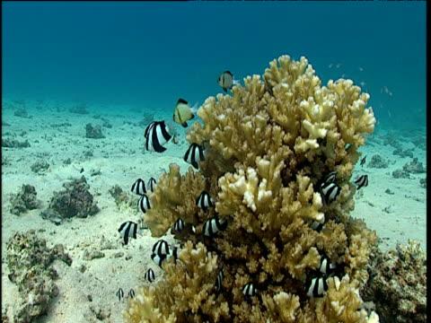 small shoal of humbug dascyllus hover around coral, tonga - pälsteckning bildbanksvideor och videomaterial från bakom kulisserna