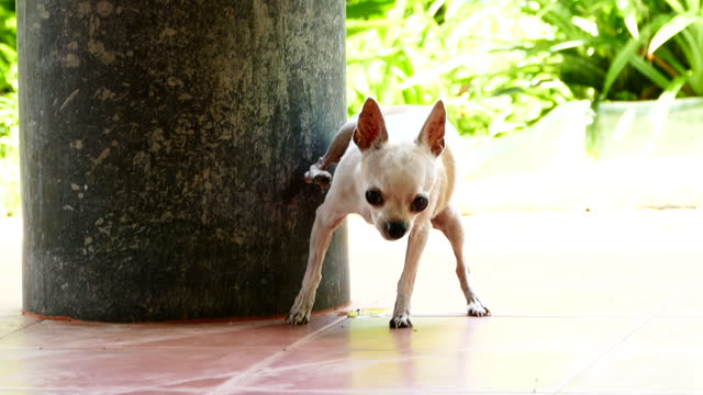 small short hair female chihuahua dog peeing urinating - wet stock videos & royalty-free footage