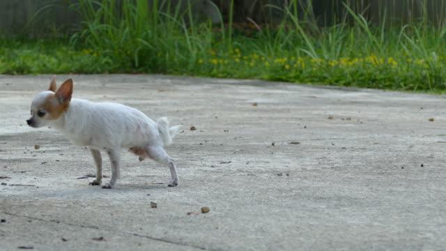 小さな短い髪の女性チワワ犬のおしっこ - 小便器点の映像素材/bロール
