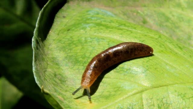 Small slug moving on green leaf.
