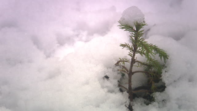 a small spruce coming up from the snow. - coniferous stock videos & royalty-free footage