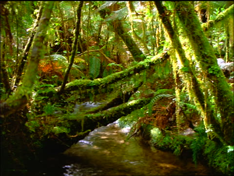 Small stream flowing through dense, mossy rainforest / Westland, South Island / New Zealand
