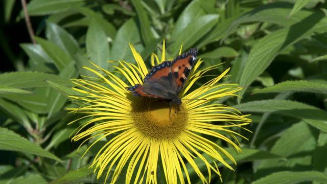 small tortoiseshell butterfly - johnfscott stock videos & royalty-free footage
