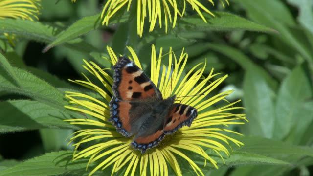 vidéos et rushes de petit papillon de tortueshell - partie du corps d'un animal