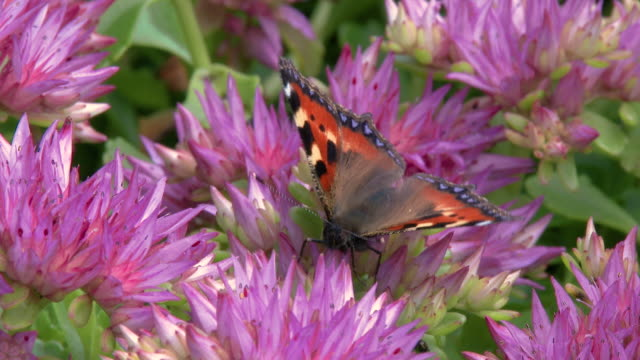 small tortoiseshell which is a colourful eurasian butterfly on a flower - hot pink stock videos & royalty-free footage