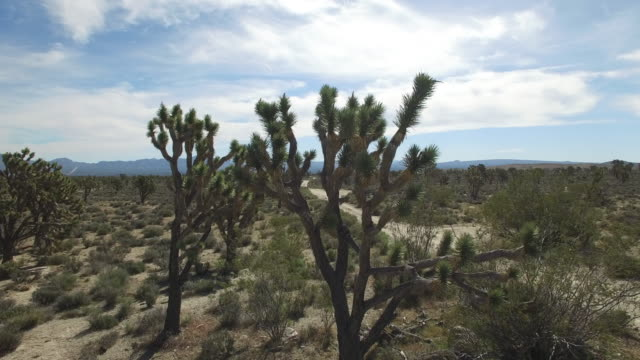 small tracking side by top of joshua tree - drone aerial video 4k joshua tree national forest, desert barren land, no people with remote location cactus california desert, mojave desert, with extreme terrain 4k nature/wildlife/weather - joshua tree stock videos and b-roll footage
