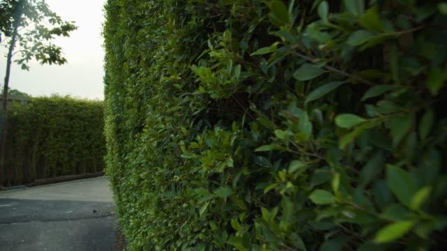 vídeos y material grabado en eventos de stock de pequeño árbol que hace una pared de selva - seto
