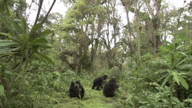 A small troop of mountain gorillas forages in the jungle. Available in HD