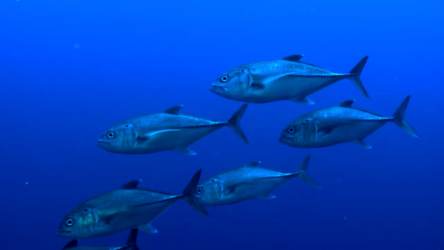 small tuna shoal closeup - group of animals stock videos & royalty-free footage