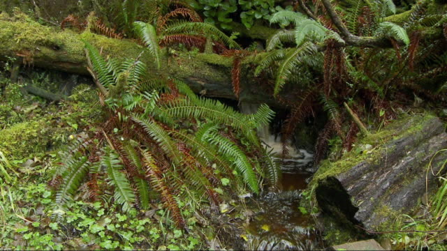 ms pan small waterfall through lush ferns and moss covered logs in naikoon provincial park. / banff, haida gwaii, canada.s - moss stock videos & royalty-free footage
