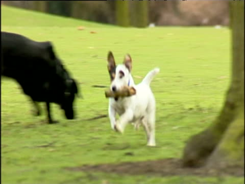 small white dog exuberantly runs around park holding stick uk - rassehund stock-videos und b-roll-filmmaterial