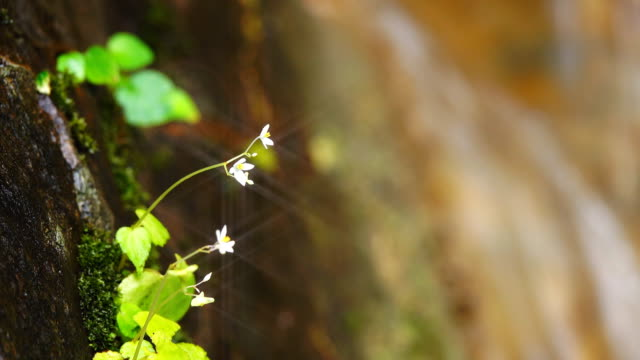 small white flowers on rock with falling water from waterfall behind - bugtiger stock videos and b-roll footage