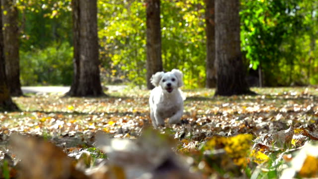 stockvideo's en b-roll-footage met small white puppy running through autumn leaves in slow motion - herfst