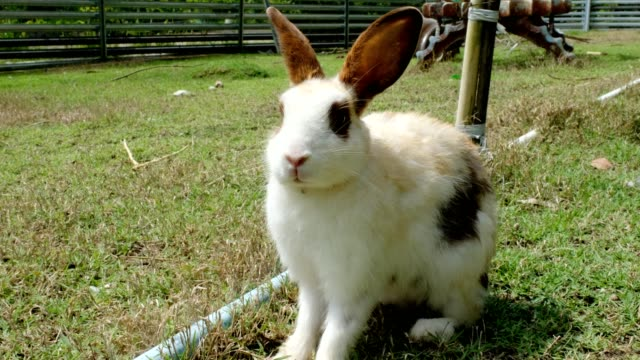small white rabbits on grass be raise in stall - domestic animals stock videos & royalty-free footage