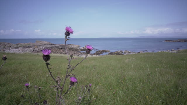 small wild scottish thistles blowing in the wind on the island of iona, scotland - scottish culture video stock e b–roll