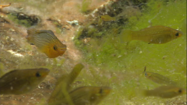small yellow fish swim among aquatic plants. - aquatic plant stock videos & royalty-free footage