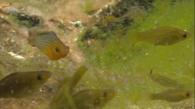 vídeos de stock e filmes b-roll de small yellow fish swim among aquatic plants. - planta d'água