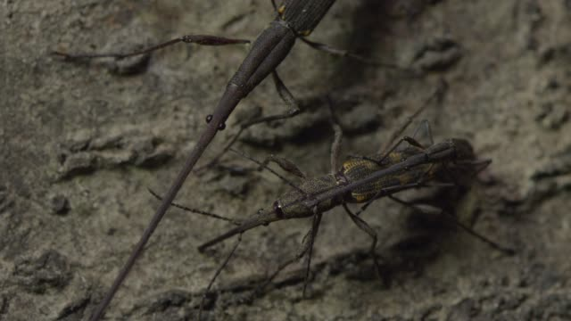 Smaller male giraffe weevil mates with female, New Zealand