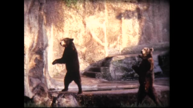 1967 smart bears in zoo waving to tourist family