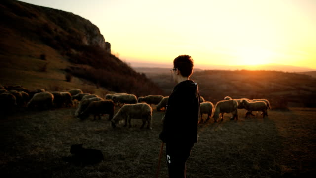 smart dogs helping to shepherd.group of sheep s with teenager shepherd, grazing on the mountain in the dusk - shepherd stock videos & royalty-free footage