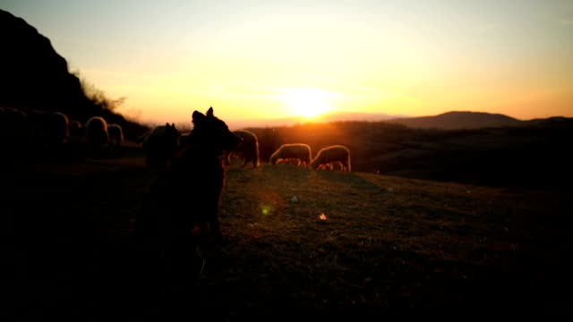 smart dogs leading sheep, helping to shepherd in sunset on the mountain - sheepdog stock videos & royalty-free footage
