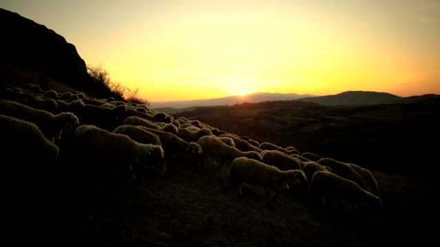 smart dogs leading sheep, helping to woman shepherd in sunset on the mountain - flock of sheep stock videos & royalty-free footage