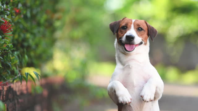 smile standing up young puppy jack russel playing and activity around the house both indoor and outdoor - bark stock videos & royalty-free footage