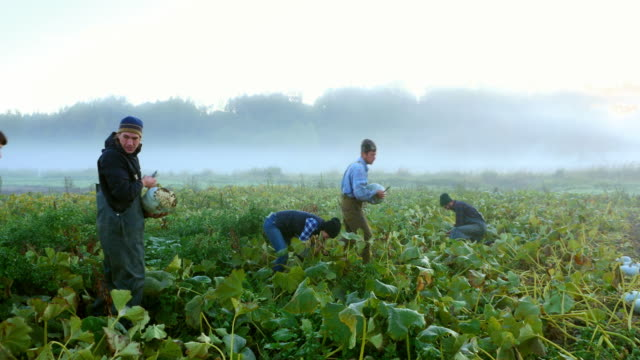MS PAN TD Smiling group of farmers harvesting organic squash in field on fall morning