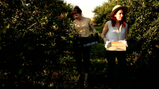smiling ladies putting picked cherries in a crate - orchard stock videos & royalty-free footage