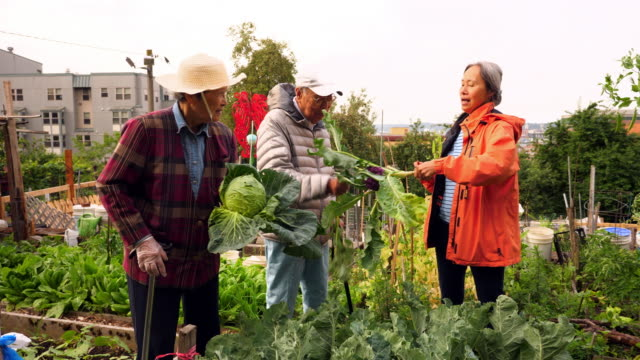 vídeos y material grabado en eventos de stock de ms smiling mature woman helping senior parents pick vegetables while working together in community garden - huerto urbano