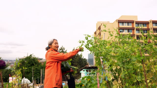 vídeos y material grabado en eventos de stock de ms smiling mature woman picking pea from plant in community garden and showing it to senior parent - huerto urbano