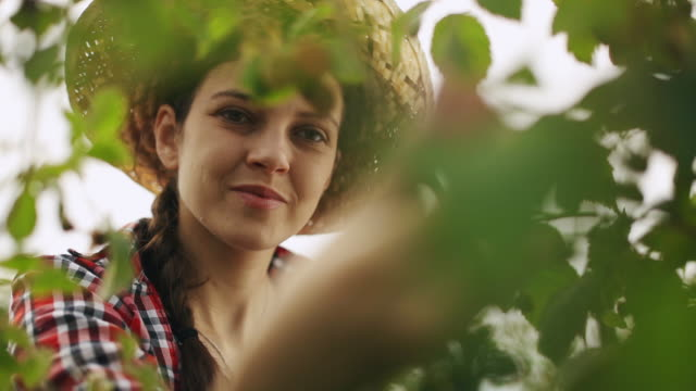 smiling woman gathering ripe raspberries - orchard stock videos & royalty-free footage