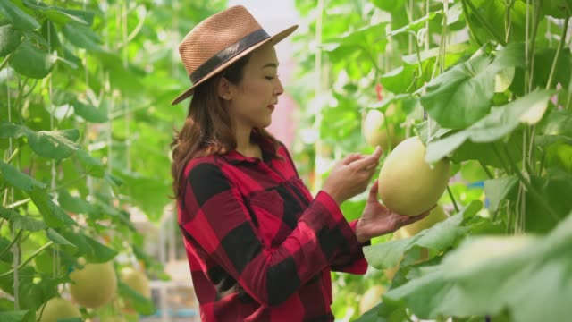 Smiling young woman checking the cantaloupe growing in the greenhouse