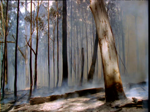 Smoke billows in gum tree forest after forest fire, Australia