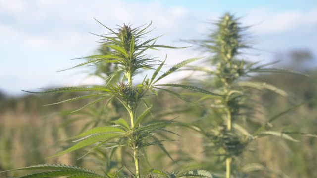 slo mo smoke blowing at the hemp plants - herb stock videos & royalty-free footage