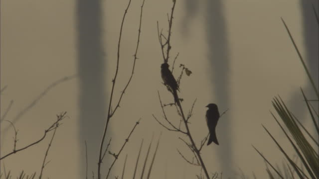 smoke wafts past perching fork tailed drongos. - perching stock videos & royalty-free footage